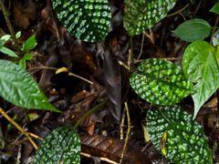 Boesenbergia hutchinsonii Gunung Mulu & Mt Api Sarawak Nov 2013- by <b>erikvz</b> ( a Panoramio image )