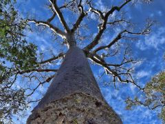 MADAGASCAR - Baobabs  (Adansonia rubrostipa) -   f1649hps by <b>© ESTANRR</b> ( a Panoramio image )