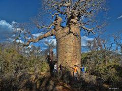 MADAGASCAR - Baobabs (Adansonia rubrostipa) - f3467 by <b>© ESTANRR</b> ( a Panoramio image )