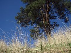 Сосна на синем небе by <b>alex26856</b> ( a Panoramio image )