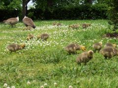 Nashville- Tenn- Canadian Geese in Centennial Park by <b>cheets99</b> ( a Panoramio image )