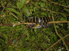 Cat snake near Mulu, Sarawak by <b>Lille-Magnus</b> ( a Panoramio image )