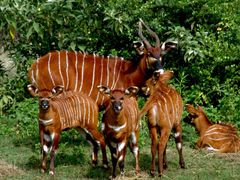 Rare Eastern Bongo Antelope by <b>ChuckUPD</b> ( a Panoramio image )