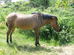 Zebroid by <b>ChuckUPD</b> ( a Panoramio image )