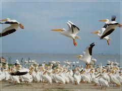 Pelicanos levantando vuelo by <b>Arturo Cardenas L</b> ( a Panoramio image )