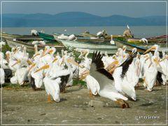 Pelicanos en el Lago de Chapala by <b>Arturo Cardenas L</b> ( a Panoramio image )