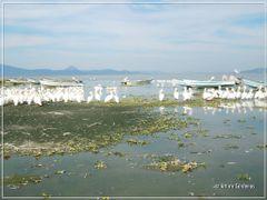 Lago de Chapala y Pelicanos by <b>Arturo Cardenas L</b> ( a Panoramio image )