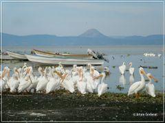 Pelicanos americanos by <b>Arturo Cardenas L</b> ( a Panoramio image )