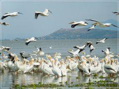 migracion de Pelicanos americanos by <b>Arturo Cardenas L</b> ( a Panoramio image )