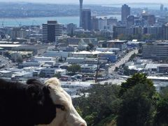 1427 Auckland, cow at Mount Eden in front of the city with Sky T by <b>Daniel Meyer</b> ( a Panoramio image )