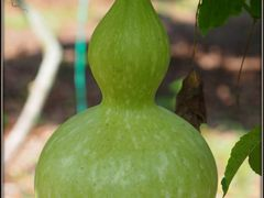 Gourd by <b>peek a boo</b> ( a Panoramio image )
