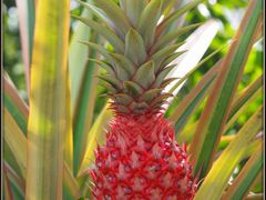 Pineapple by <b>peek a boo</b> ( a Panoramio image )
