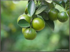 Lime by <b>peek a boo</b> ( a Panoramio image )