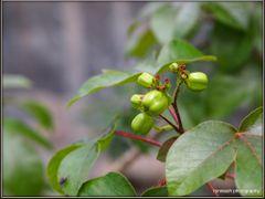 Star Fruit by <b>peek a boo</b> ( a Panoramio image )
