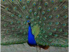 Apeldoorn - Palace Het Loo - Royal Peacock. by <b>Arina de Leeuw.</b> ( a Panoramio image )