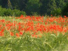 Mohn und Getreide  in Einklang by <b>marita1004 - VIEWS? No, thanks!</b> ( a Panoramio image )