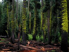 lichen, Sequoia NP by <b>cbaisan</b> ( a Panoramio image )