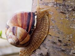 Крымская улитка - виноградница (Crimean Snail). by <b>s_shugarov</b> ( a Panoramio image )