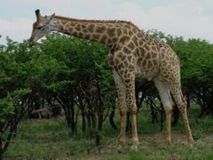 Giraffe at Tala by <b>Steve Bennett</b> ( a Panoramio image )