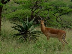 Impala at Tala by <b>Steve Bennett</b> ( a Panoramio image )