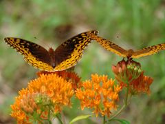Butterfly pair on Butterfly Weed: Great Spangled Fritillaries ©  by <b>jgevans</b> ( a Panoramio image )
