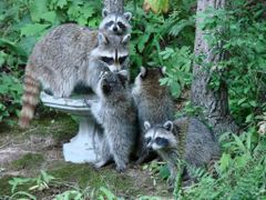 "Mother Raccoon with FOUR, count""em 4!! kits!!  ... © All Rights  by <b>jgevans</b> ( a Panoramio image )"