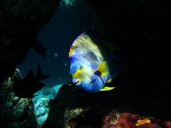 Queen Angelfish at Thunderball Grotto by <b>rickdsanders</b> ( a Panoramio image )
