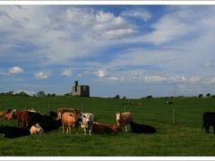 Jungstiere auf einer Weide bei Finvarra, Irland County Clare by <b>Marina Frintrop</b> ( a Panoramio image )