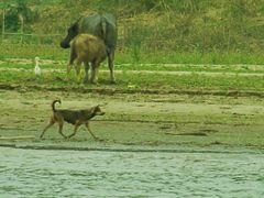 water buffalo and his calf - dog and a egret on the bankslope of by <b>world of pictures by KlausH</b> ( a Panoramio image )