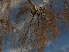 Willow by <b>Tony Reid</b> ( a Panoramio image )