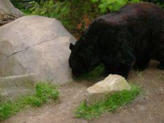 Portland Zoo Black Bear by <b>bluebuffsteve</b> ( a Panoramio image )