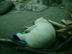 Portland Zoo Polar Bear by <b>bluebuffsteve</b> ( a Panoramio image )