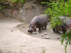 Portland Zoo Hippo by <b>bluebuffsteve</b> ( a Panoramio image )