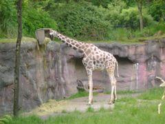 Portland Zoo Giraffe by <b>bluebuffsteve</b> ( a Panoramio image )