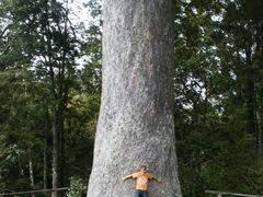 Kauri tree, Warkworth museum NZ by <b>Gunnar Meeuwisse</b> ( a Panoramio image )