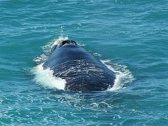 Southern Right Whale by <b>MHartkamp</b> ( a Panoramio image )