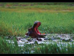 Hipo. Chobe.Botswana. by <b>AlSanin</b> ( a Panoramio image )