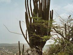 Cactus on Hooiberg by <b>Christophe Van Hulle</b> ( a Panoramio image )