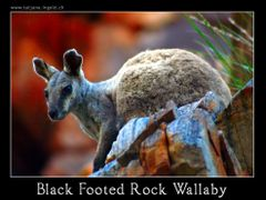 Black Footed Rock Wallaby, Standley Chasm by <b>www.tatjana.ingold.ch</b> ( a Panoramio image )