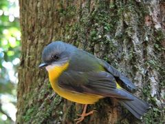 oriellys -yellow breasted by <b>ozgauntlet</b> ( a Panoramio image )