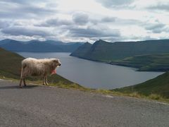 Sheep on the road, Faroe Islands by <b>OskarH</b> ( a Panoramio image )