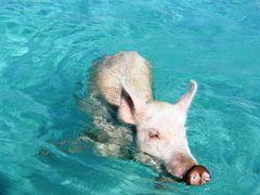 swimming pig! by <b>Vmckenzie</b> ( a Panoramio image )