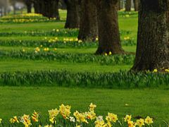 Linwood Ave Daffodils by <b>clickNZ</b> ( a Panoramio image )