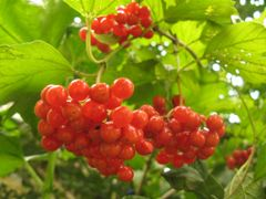 Калина-символ України \ Guelder-rose - a symbol of Ukraine by <b>Leo N</b> ( a Panoramio image )