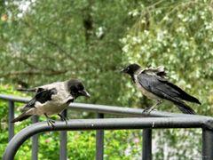 Hooded Crow by <b>paparazzistas</b> ( a Panoramio image )