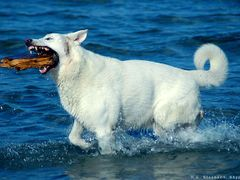 Dog in the water by <b>H. C. Steensen</b> ( a Panoramio image )