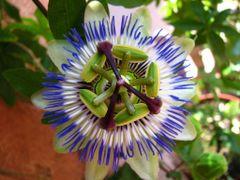 Mucenka (Passiflora) by <b>Jurko Cabadaj</b> ( a Panoramio image )