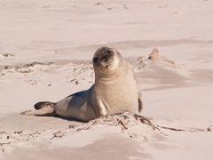 Elephant seal. Sea Lion Island. by <b>Per Esbj?rn Svendsen</b> ( a Panoramio image )