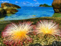 Mahe seaside with local flowers by <b>Daniel Balazs Harcz</b> ( a Panoramio image )