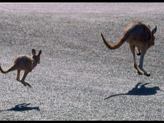 Kangaroos in Lasseter Hwy....© by leo1383 by <b>leo1383</b> ( a Panoramio image )